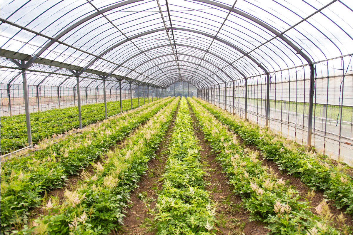 アスチルベ栽培の圃場