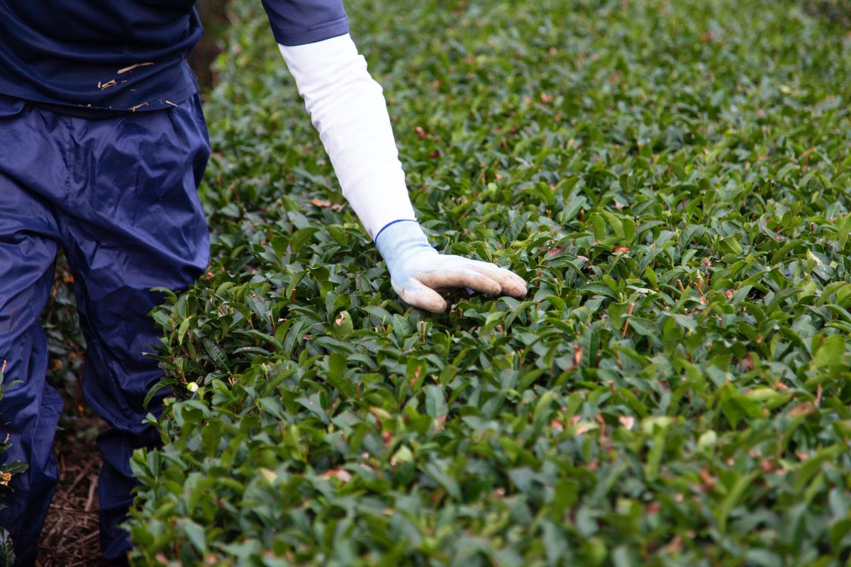 お茶の有機栽培