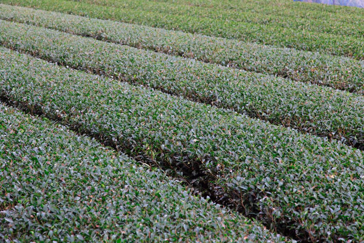 佐々町宝緑園の茶畑