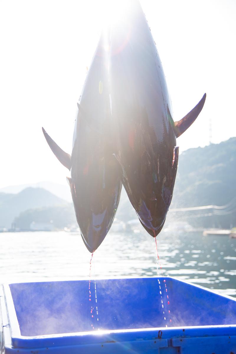 新上五島町で水揚げされたクロマグロ