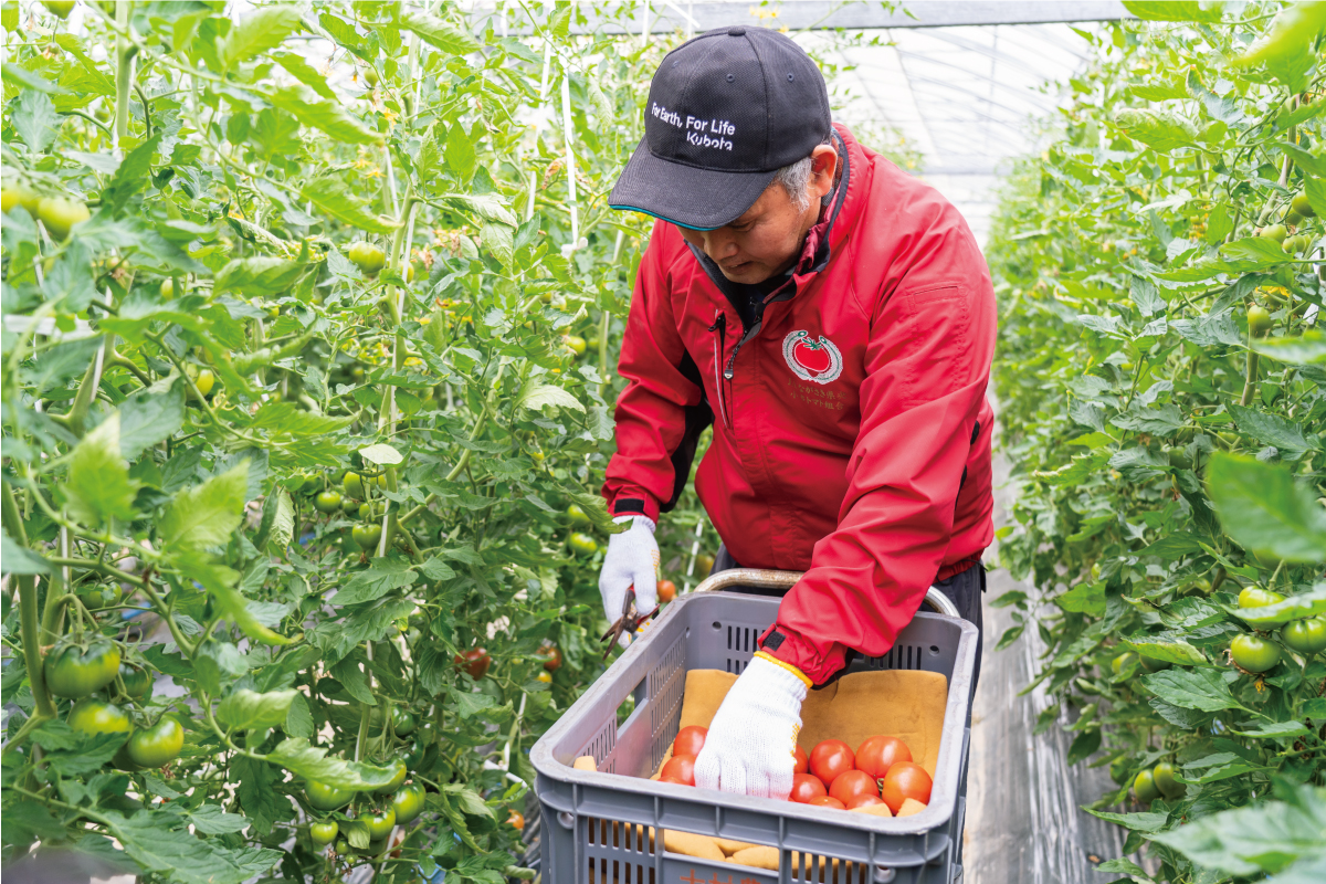 小串トマトを収穫中の一瀬さん